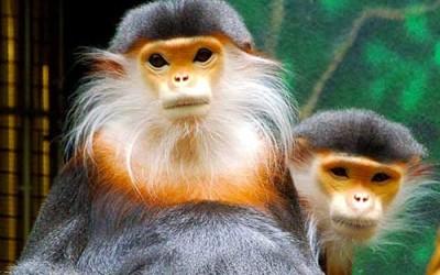 laos-wildlife-Douc-Langur